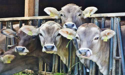 cattle-market-for-eid.jpg